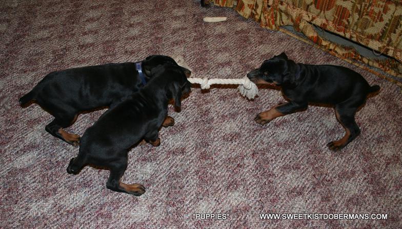 Victor Dog Food For Dobermans